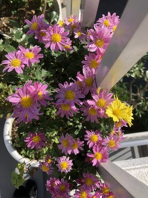 菊ピンク黄