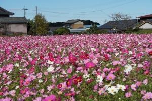 三木田中コスモス畑