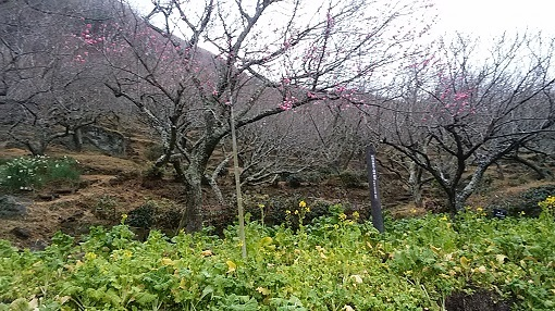 湯河原の桜