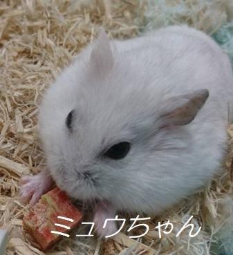 ミュウちゃん ジャンガリアン