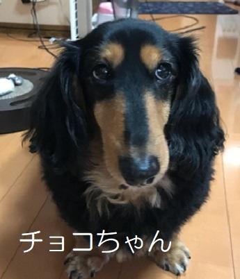 チョコちゃん ダックス