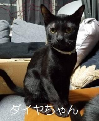 ダイヤちゃん 黒猫