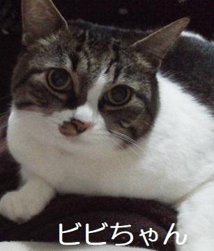ビビちゃん キジ猫