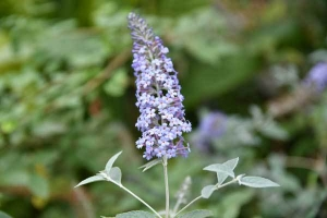 Butterfly Bush, Summer lilac
