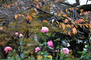 Autumn Roses and Sakura Leaves