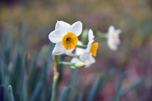 Narcissus out of season