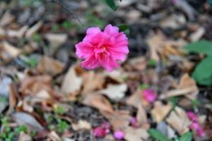 Sasanqua Flower