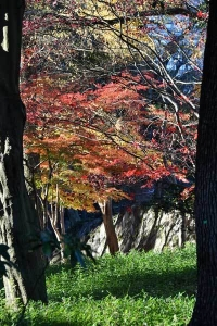 Momiji Maple and Ginkgo Trees
