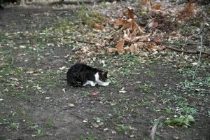 Fifth Cat Kyi