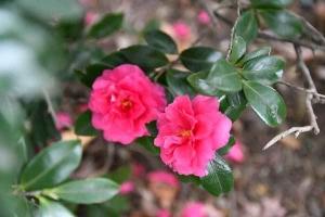 Sasanqua Flowers