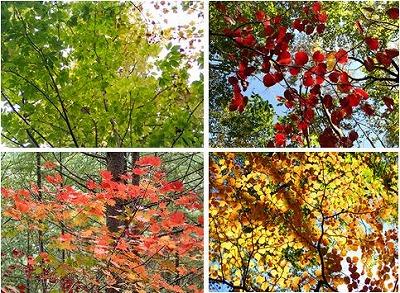 11紅葉4種