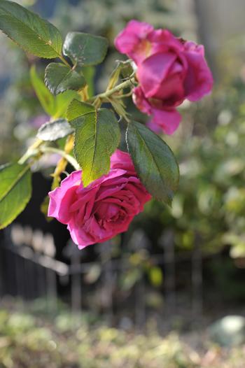 rose20181103.jpg
