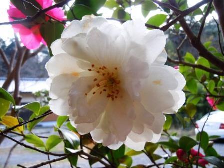 山茶花2(2018-12-19)白