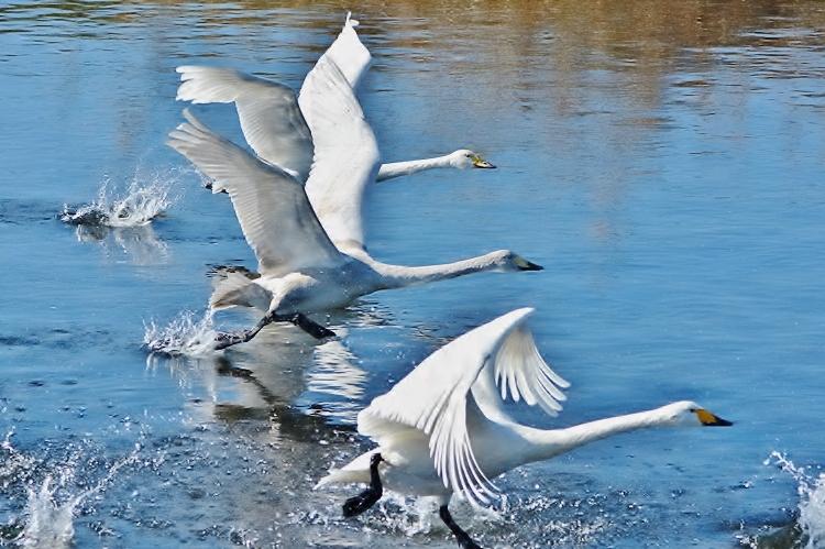 20151230-白鳥