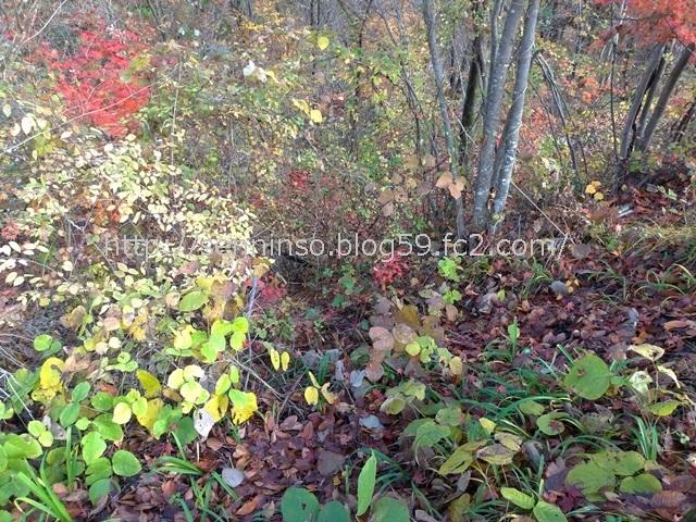 仙人草の紅葉1