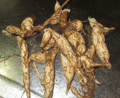 四角豆 の根 (1)