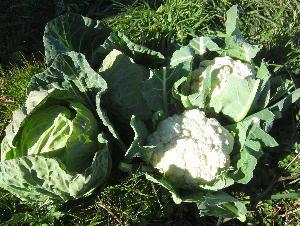 キャベツ収穫 (2)