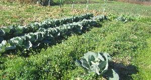キャベツ収穫 (4)