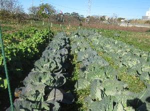 キャベツ収穫 (1)