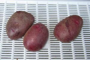 ジャガイモ緑化とソラニン (4)
