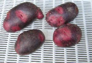 ジャガイモ緑化とソラニン (3)