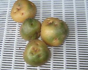 ジャガイモ緑化とソラニン (1)