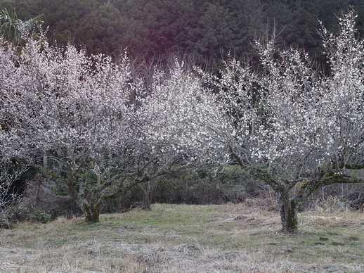 20190206 満開の梅の花