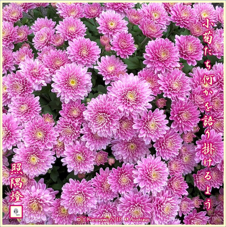 181109赤紫の小菊LRG