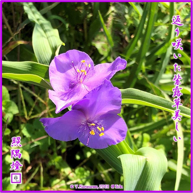 181126大紫露草LRG