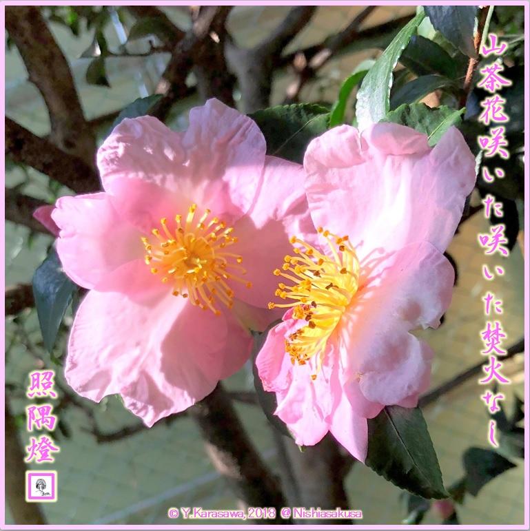 181201薄紅の山茶花の花LRG