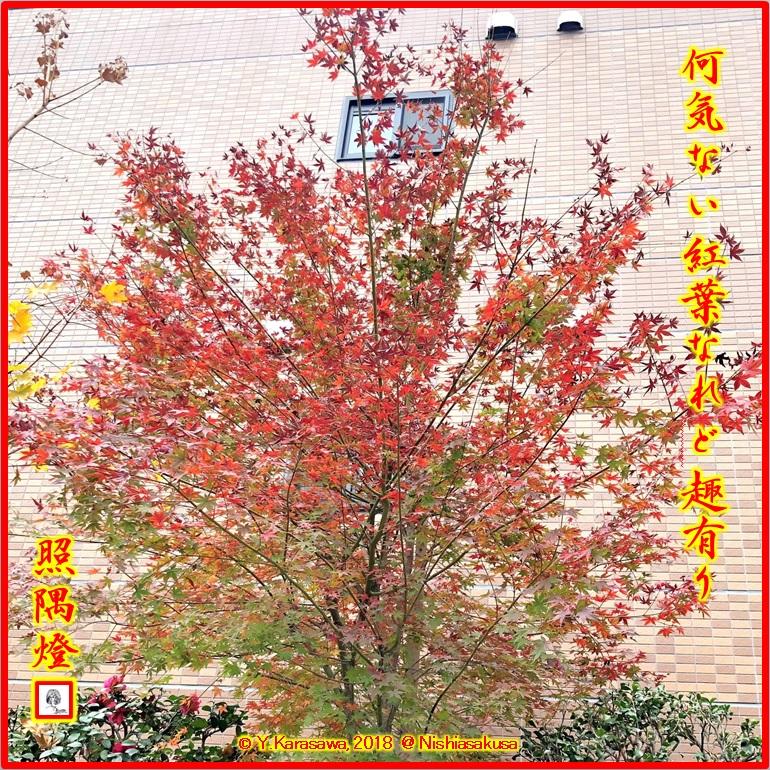 181222楓の紅葉LRG