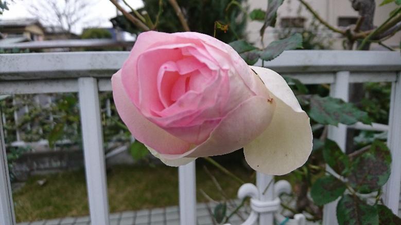 薔薇 ベスト