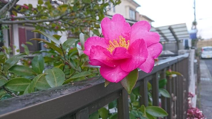山茶花も咲いてる