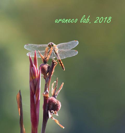 10月12日蜻蛉
