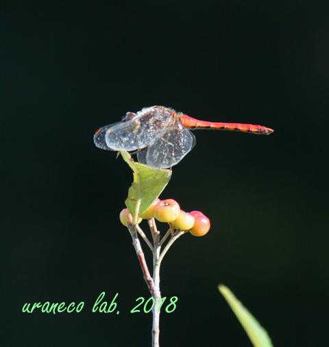 10月9日蜻蛉4