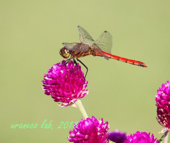 10月9日蜻蛉3