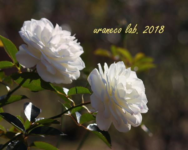 10月15日薔薇4