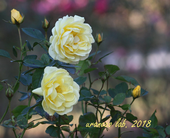 10月15日薔薇5