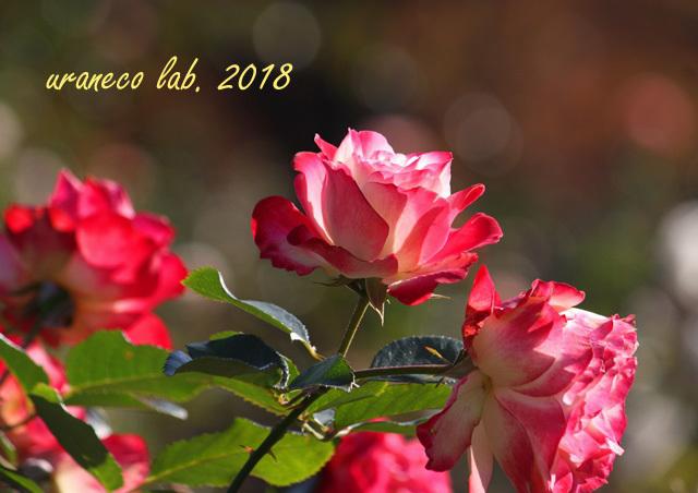 10月15日薔薇3