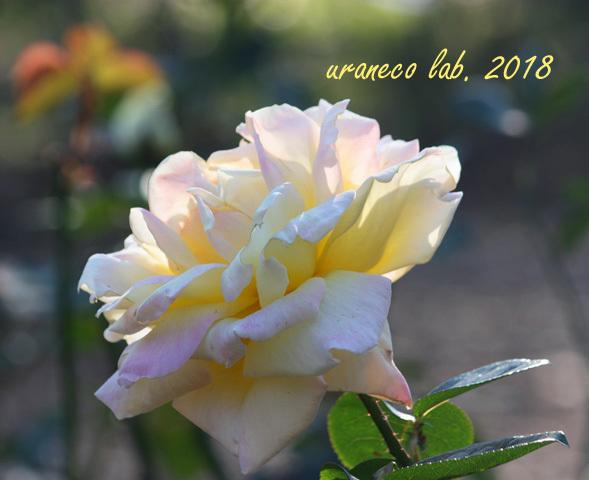 10月15日薔薇2