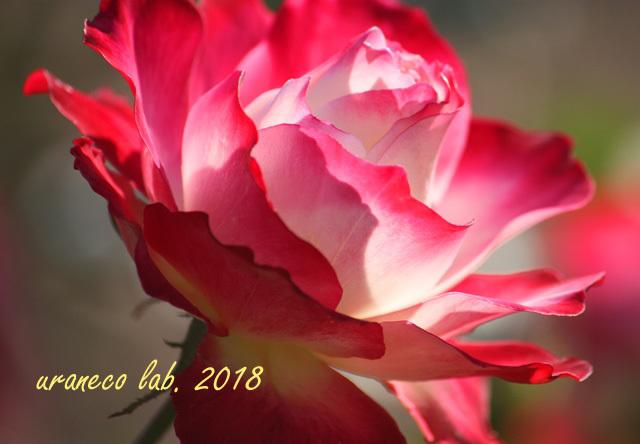 10月15日薔薇
