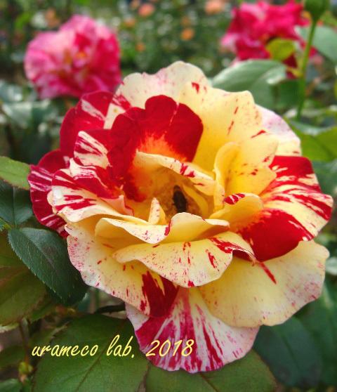 10月22日秋薔薇3