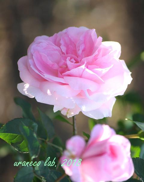 10月22日秋薔薇7