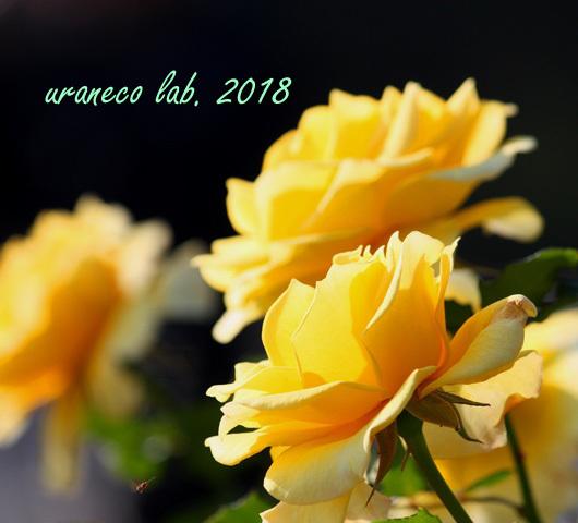 10月22日秋薔薇6