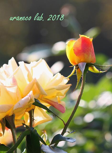 10月22日秋薔薇5