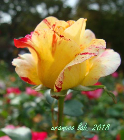 10月22日秋薔薇2