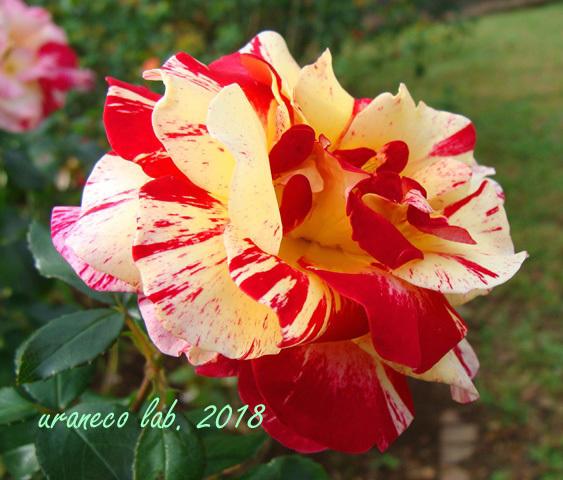 10月22日秋薔薇