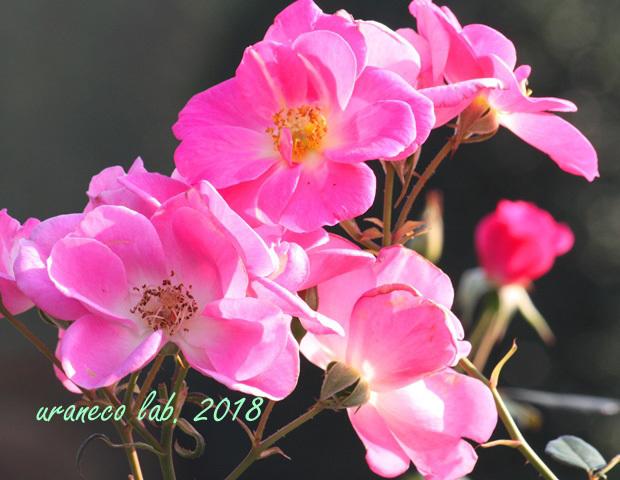 10月22日秋薔薇9