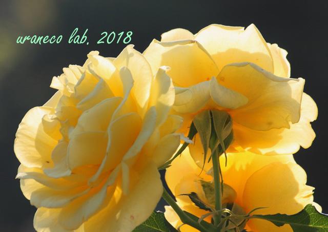 10月22日秋薔薇8