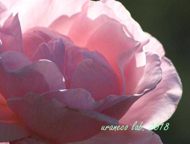 10月25日薔薇